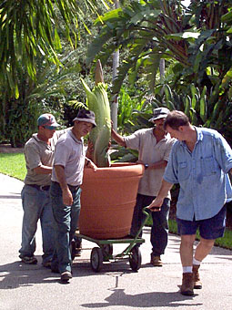 A. titanum  moves to new Garden display