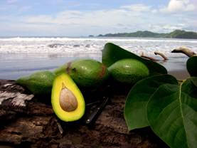 Avocado Shore