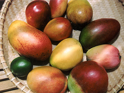 Fairchild's International Mango Festival