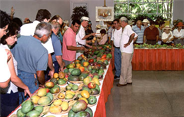 Mangos Around the Globe - Cultivar Display