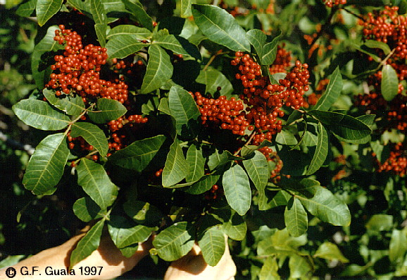 Schinus terebinthifolius: Brazilian pepper tree (Brazil)